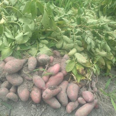 京都府産 自然農法の赤いジャガイモ(タワラヨーデル)