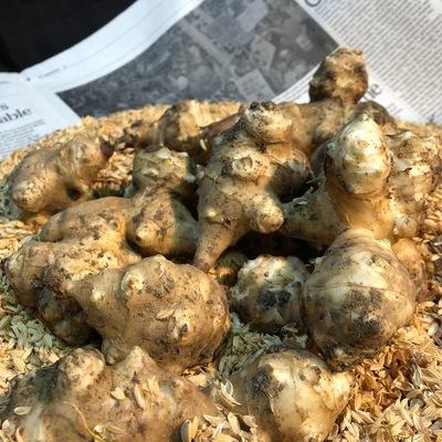 動物性資材・農薬・化成資材不使用栽培【丹波篠山産キクイモ】