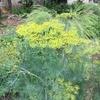 はじめまして、埼玉のオーガニックファーム ふくだと申します。 今、ディルやカモミールなどの花咲いてます。 コリアダーは、もう終わりそうですが・・・ 人参の花が、咲きだしましたー 小さな畑です。たくさんありませんが・・・ 有機JASの認証あります。農薬等は一切使用してません。 bike-fukuda@au.wakwak.com  ふくだなおみ