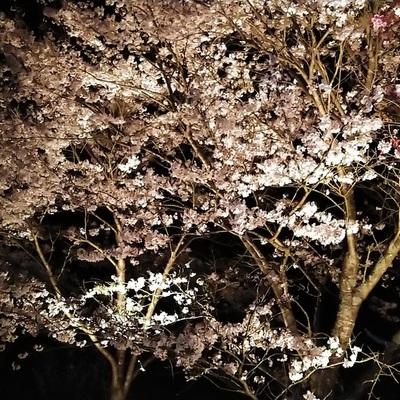 満開桜のライトアップ